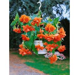 Begonia pendula ´Orange´ / Begónie převislá oranžová, bal. 3 ks, 5/+