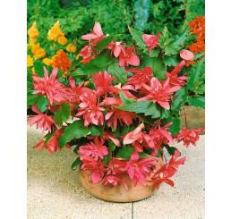 Begonia pendula ´Pink´ / Begónie převislá růžová, bal. 3 ks, 5/+