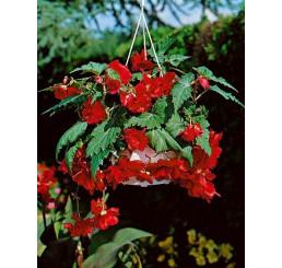 Begonia pendula ´Red´ / Begónie převislá červená, bal. 3 ks, 5/+