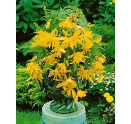 Begonia pendula ´Yellow´ / Begónie převislá žlutá, bal. 3 ks, 5/+