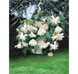 Begonia pendula ´White´ / Begónie převislá bílá, bal. 3 ks, 5/+