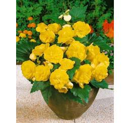 Begonia double ´Yellow´ / Begónie velkokvětá žlutá, bal. 3 ks, 5/+