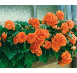Begonia double ´Orange´ / Begónie velkokvětá oranžová, bal. 3 ks, 5/+
