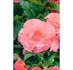 Begonia double ´Pink´ / Begónie velkokvětá růžová, bal. 3 ks, 5/+