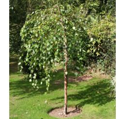Betula nigra / Bříza černá, 100-125 cm, C3