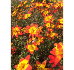 Bidens ´Beedance® Painted Red´ / Dvouzubec, bal. 3 ks, 3x K7