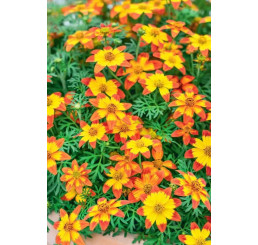 Bidens ´2 Teeth®´M Red Yellow Center´ / Dvouzubec, bal. 3 ks, 3x K7