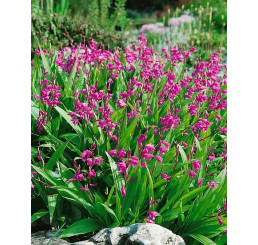 Bletilla hyacinthina ´Pink´/ Zahradní orchidej růžová, I.