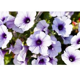 Petunia ´Blue Vein Surfinia®´ / Petunie, bal. 6 ks sadbovačů