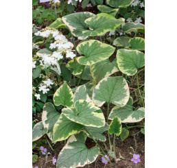 Brunnera macrophylla 'Hadspen Cream' / Bruner velkolistá, K13