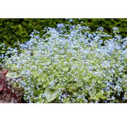Brunnera macrophylla 'Jack Frost' / Poměnkovec, C1