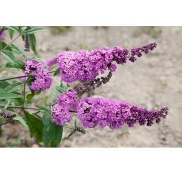 Buddleia davidii ´Border Beauty´/ Komule davidova, motýlí keř, 30-40 cm, C1,5