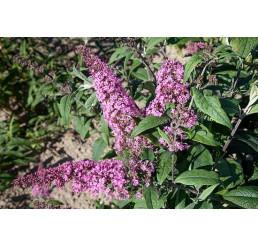 Buddleia davidii ´Pink Delight´ / Komule davidova, motýlí keř, 20-25 cm, K12