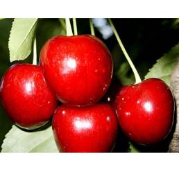 Prunus avium ´Burlat´ / Třešeň, Gisela 5