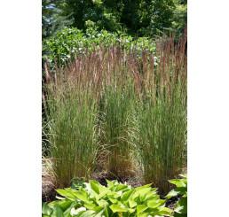 Calamagrostis varia / Třtina pestrá, K9