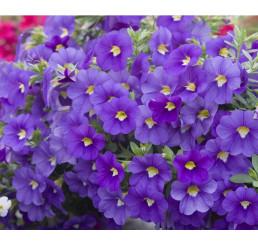 Calibrachoa ´Celebration® Indigo´ / Mnohokvěté petunie, K7