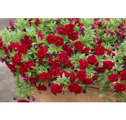 Calibrachoa Sweet Bells® ´Double Red´ / Minipetúnie, bal. 6 ks sadbovačů