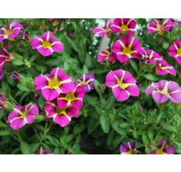 Calibrachoa ´Calliplosion Purple´ / Mnohokvěté petunie, bal. 6 ks sadbovačů