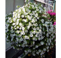 Calibrachoa ´Trailing Ice Million Bells´® / Kalibrachoa / Minipetúnie, bal. 6 ks sadbovač.