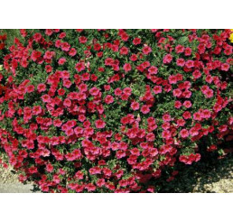 Calibrachoa ´Million Bells Compakt Cherry 08´® / Minipetúnie, bal. 6 ks sadbovač.