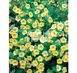 Calibrachoa ´Million Bells Lemon 2000´® / Petunie drobnokvětá, bal. 6 ks, 6x K7