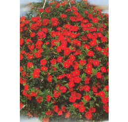 Calibrachoa ´Million Bells Red´® /  Petunie, bal. 6 ks, 6x K7