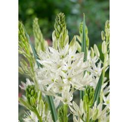 Camassia leichtlinii ´Alba´ / Kamasie bílá, 14/+