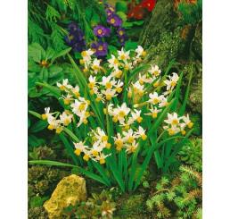 Narcis ´Canaliculatis´bal. 5 ks, 12/14