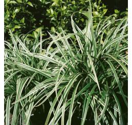 Carex morrowii ´Variegata´ / Ostřice japonská, K9