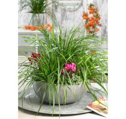 Carex morrowi ´Irish Green´ / Ostřice, C1