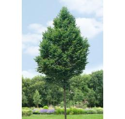 Carpinus betulus ´Fastigiata´ / Habr obecný, 250-300 cm, KB