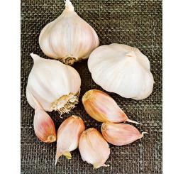 Allium sativum ´LUKAN´ / Kuchyňský česnek na výsadbu, bal. 3 hlaviček