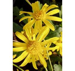 Euryops speciosissimus / Kopretinovka žlutá, bal. 6 ks, 6xK7