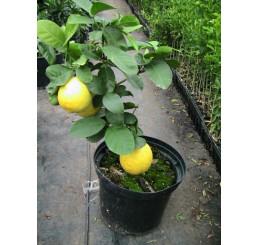 Obrovsky citron/ Citrus pyriformis ´Ponderosa´, 20 cm, K10