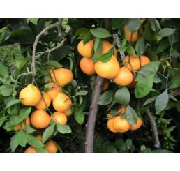 Citrus reticulata ´Carvalhais´ / Mandarinkovník roubovaný, 30 cm, C2