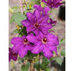 Clematis ´Sir Gaarnet Volseley´ / Plamének fialový, 40-60 cm, C2