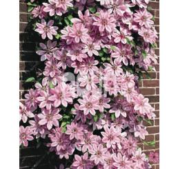 Clematis ´Nelly Moser´ / Plamének růžový, 80 cm vyv., C2