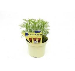 BIO Artemisia abrotanum var. Maritima / Cola bylinka, K12