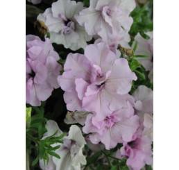 Petunia CONCHITA® ´Doble Pink´ / Petunie plnokvětá, bal. 6 ks sadbovačů