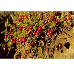 Vaccinium macrocarpon ´Red Star´ / Klikva / Cranberry, C2