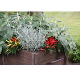 BIO Helichrysum angustifolia / Curry bylinka, K12