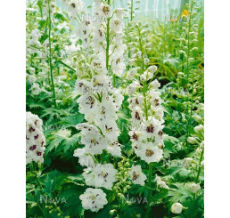 Delphinium grandiflorum ´Magic Fountain White´ / Stračka / Ostrožka, K9
