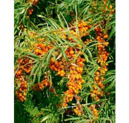 Hippophae rhamnoides / Rakytník řešetlákový kolekce, pár rostlin, 2x K9