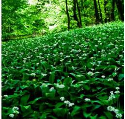 Allium ursinum / Česnek medvědí, K9