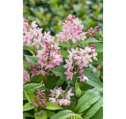 Deutzia x hybrida ´Strawberry Fields´ / Trojpuk , 30-40 cm, C1,5