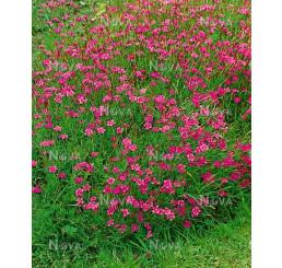 Dianthus deltoides Brillant / Hvozdík kropenatý , K9
