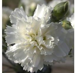 Dianthus ´Perfume Pinks® ´Memories´ / Voňavý hřebíček, bal. 3 ks, 3x K7