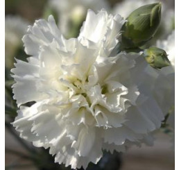 Dianthus ´Perfume Pinks® ´Memories´ / Voňavý hřebíček, bal. 6 ks sadbovačů