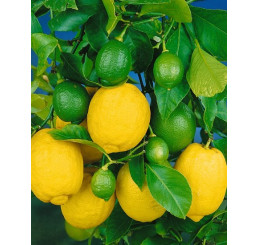 Citrus limon ´Dorshapo´ / Citroník, 25-40 cm, C2