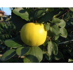 Cydora robusta RONDA  / Kdouloň jablečná, kdouloňMC